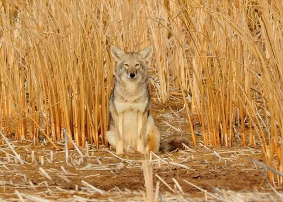 kojot-v-zaroslyah