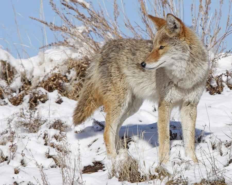 kojot-v-zimnee-vremya-goda