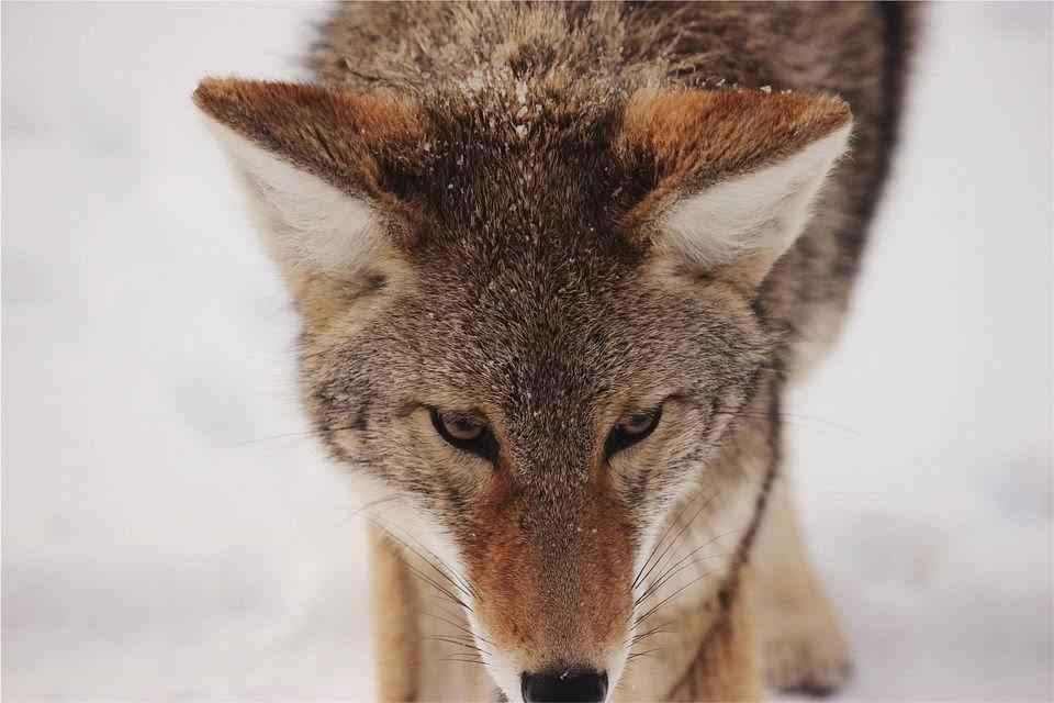 morda-kojota
