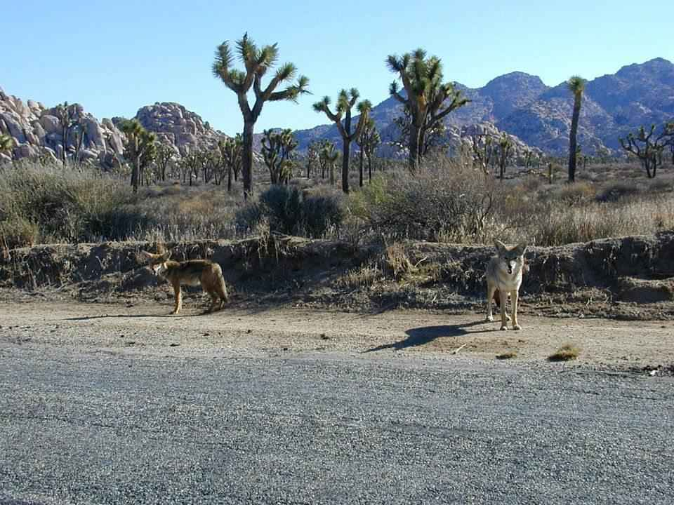 para-kojotov-na-obochine-dorogi