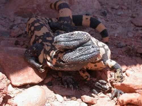 пара ящериц аризонского ядозуба, или жилатье