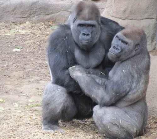 samets-i-samka-gorilly
