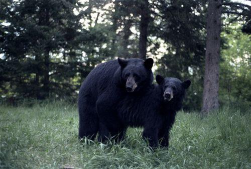 seks-chernyh-medvedej