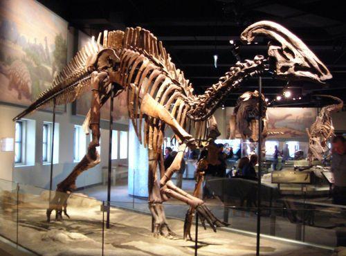 скелет динозавра паразауролоф