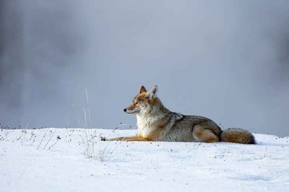 zhivotnoe-kojot-na-snegu