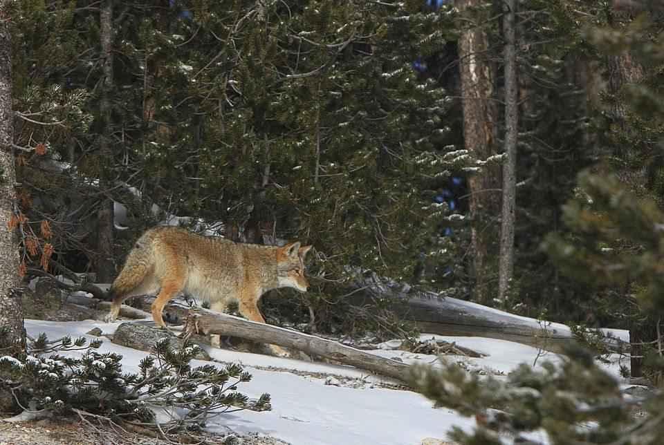 zhivotnoe-kojot-v-lesu