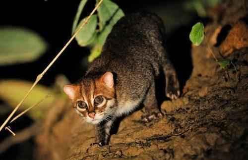 Суматранская кошка отличный рыболов