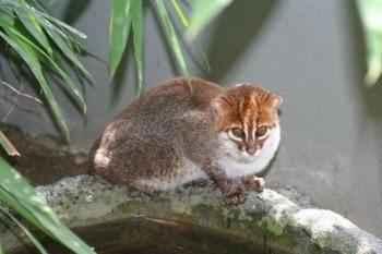 sumatranskaja-koshka