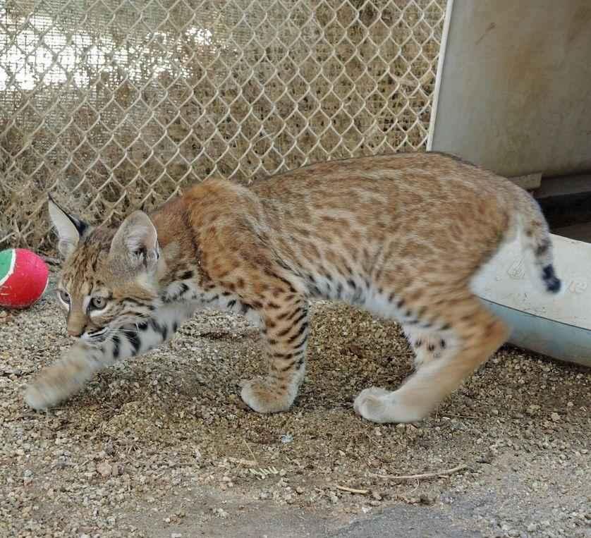 котенок, рыжая рысь, кошка, дикая кошка, заповедник