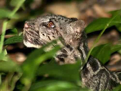 bornejskij-dymchatyj-leopard
