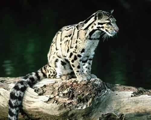 bornejskij-ili-kalimantanskij-dymchatyj-leopard-na-brevne