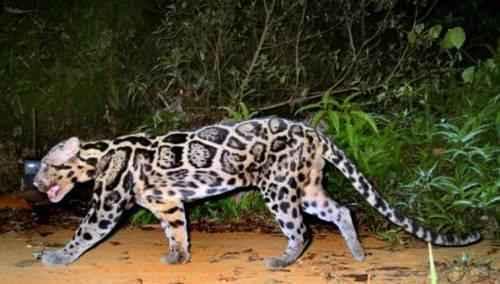 bornejskij-ili-kalimantanskij-dymchatyj-leopard-na-progulke