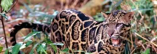 bornejskij-ili-kalimantanskij-dymchatyj-leopard