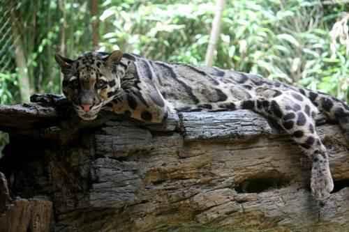 dymchatyj-leopard-na-brevne