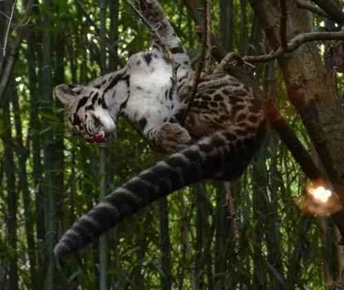 dymchatyj-leopard-na-vesu