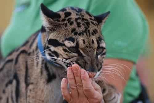 dymchatyj-leopard-oblizyvaet-ruku-cheloveka