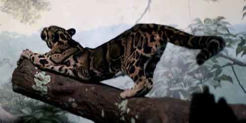 dymchatyj-leopard-potyagivaetsya