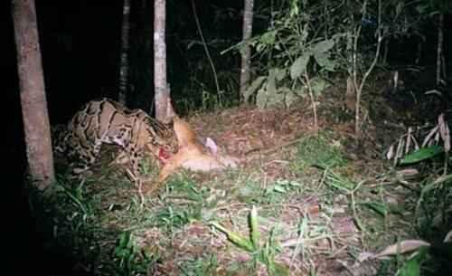 dymchatyj-leopard-s-dobychej