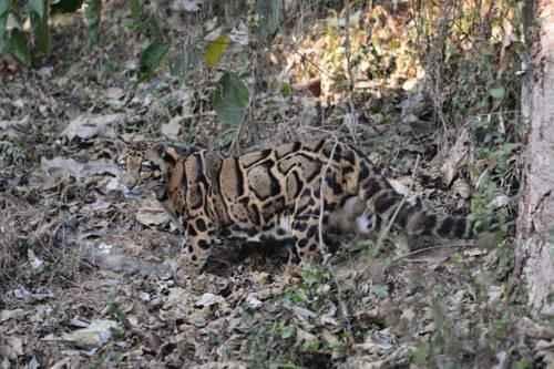 dymchatyj-leopard-v-dikoj-prirode