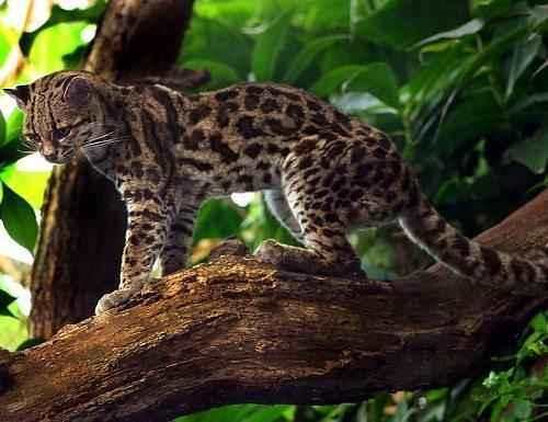 Маргай, длиннохвостая кошка, тигровые кошки, южноамериканские кошки,