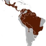 маргай, длиннохвостая кошка, ареал обитания, распространение, диапазон
