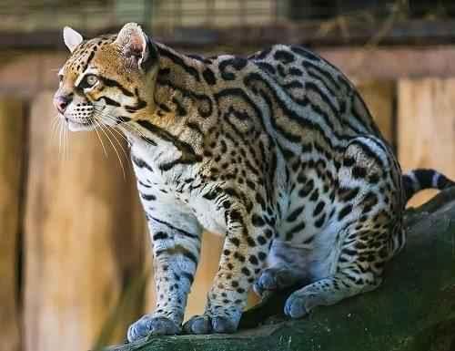 Оцелот, карликовый леопард, тигровые кошки, южноамериканские кошки,