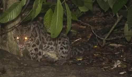 agresivnyj-dymchatyj-leopard