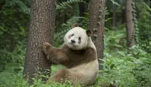 brown-white-panda
