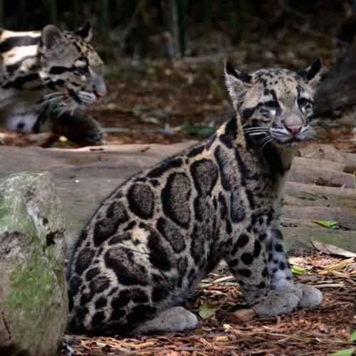 detenysh-dymchatatogo-leoparda