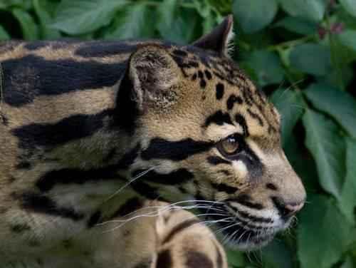 golova-bornejskogo-dymchatogo-leoparda