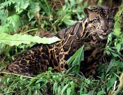 kalimantanskij-dymchatyj-leopard-v-trave