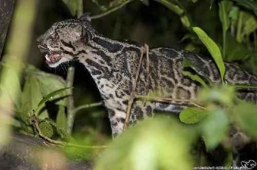 kotenok-bornejskogo-dymchatogo-leoparda