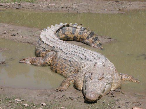 krokodil-greetsya-na-solnyshke
