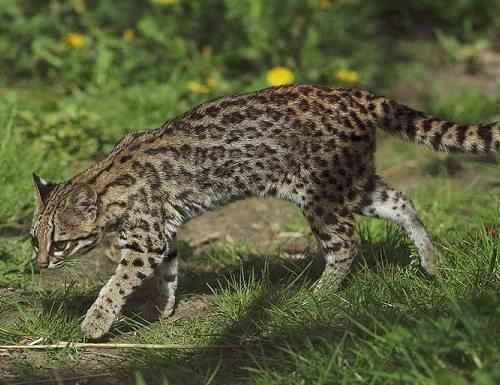 Онцилла, тигровые кошки, южноамериканские кошки,