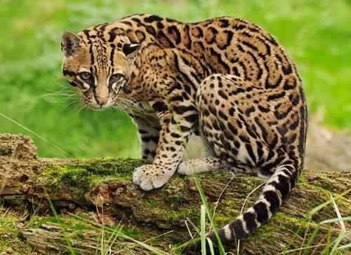 otselot-ili-karlikovyj-leopard