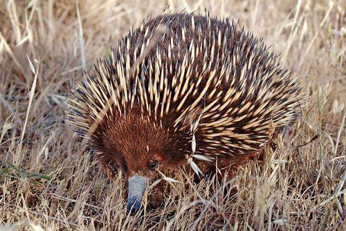 avstralijskaja-ehidna