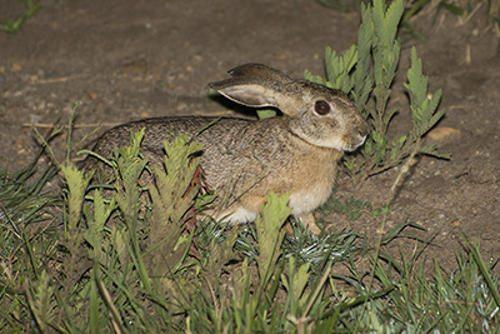 afrikanskij-zajac