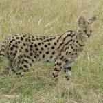 afrikanskij-serval-v-trave
