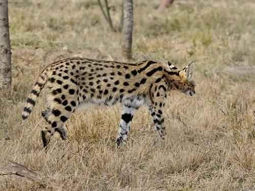 afrikanskij-serval-ili-kustarnikovaja-koshka