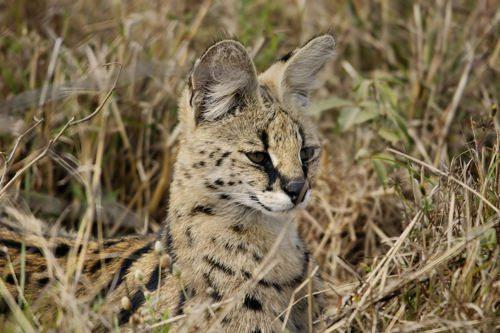 afrikanskij-serval