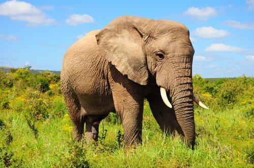 afrikanskij-slon
