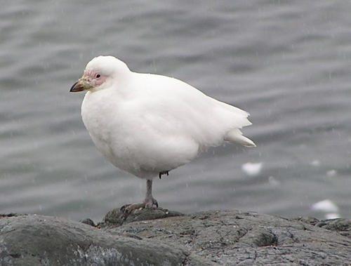 Морские птицы: описание, представители и фото 5