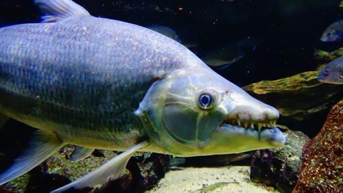 bolshaja-tigrovaja-ryba