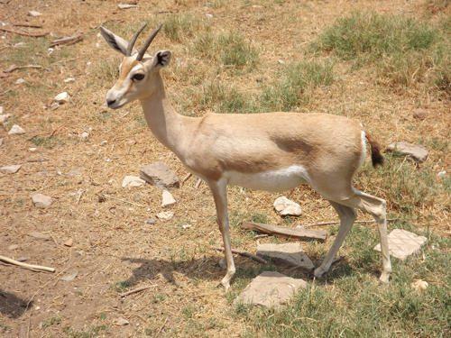 gazel-dorkas