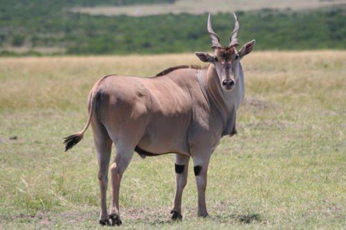 kanna-antilopa