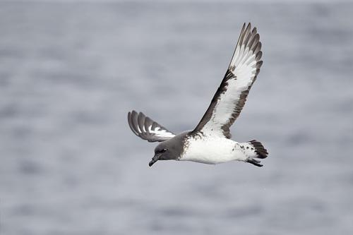 kapskij-golubok