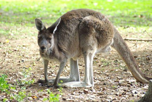 kenguru