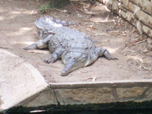 orinokskij-krokodil
