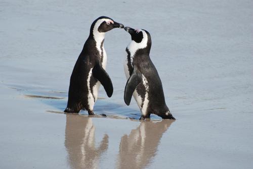 ochkovyj-pingvin