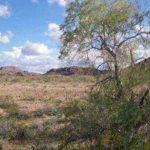 pustynnoe-zheleznoe-derevo